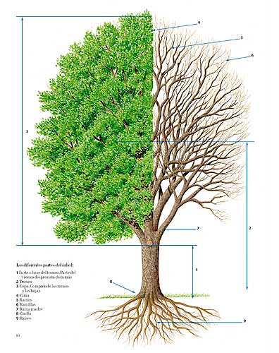 El gran libro del árbol y del bosque. Estructura de un árbol Editorial juventud