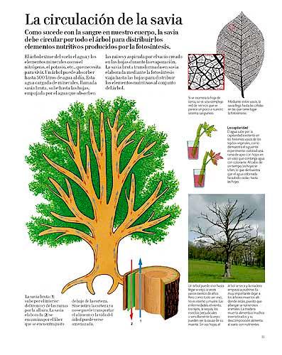 xilema. Respiración hojas. El gran libro del árbol y de los bosques. Editorial Juventud.